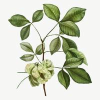 Hoptree comum