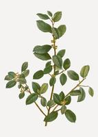 Italian buckthorn branch