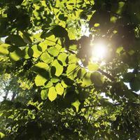 Närbild på gröna löv och solljus