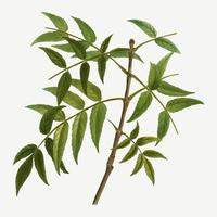Rama de un árbol de fresno europeo