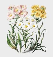 Antique plant New Zealand snow groundsels drawn by Sarah Featon (1848 - 1927). Digitally enhanced by rawpixel.