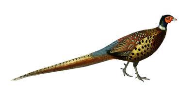 Ringhalsfasan (Phasianus colchicus) illustrerad av Charles Dessalines D 'Orbigny (1806-1876). Digitalförstärkt från vår egen 1892-upplaga av Dictionnaire Universel D'histoire Naturelle.