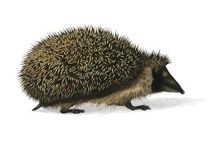 European Hedgehog (Erinaceus Europaeus) illustrated by Charles Dessalines D' Orbigny (1806-1876). Digitally enhanced from our own 1892 edition of Dictionnaire Universel D'histoire Naturelle.