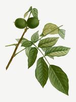 Engelse walnotenboom