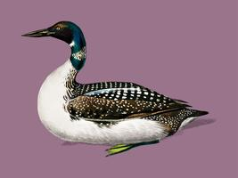 Loon (Gavia) illustrated by Charles Dessalines D' Orbigny (1806-1876). Digitally enhanced from our own 1892 edition of Dictionnaire Universel D'histoire Naturelle.