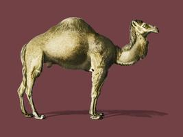 Camel (Camelus) illustrated by Charles Dessalines D' Orbigny (1806-1876). Digitally enhanced from our own 1892 edition of Dictionnaire Universel D'histoire Naturelle.