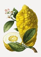Citron fruits