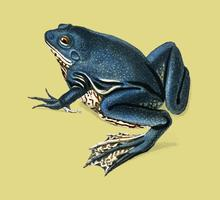 Shrinking frog (Pseudis Merianae) illustrated by Charles Dessalines D' Orbigny (1806-1876). Digitally enhanced from our own 1892 edition of Dictionnaire Universel D'histoire Naturelle.