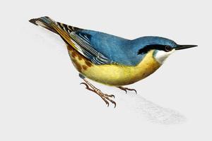 Wallcreeper (Tichodroma Phoenicoptera) illustrerad av Charles Dessalines D 'Orbigny (1806-1876). Digitalförstärkt från vår egen 1892-upplaga av Dictionnaire Universel D'histoire Naturelle.