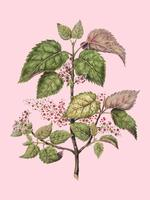 Antique plant Makomako - Aristotelia Racemosa drawn by Sarah Featon (1848 - 1927). Digitally enhanced by rawpixel. vector