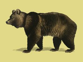 Brown Bear (Ursus Arctos) illustrated by Charles Dessalines D' Orbigny (1806-1876). Digitally enhanced from our own 1892 edition of Dictionnaire Universel D'histoire Naturelle.