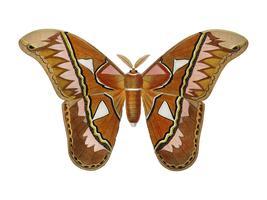 Attacus Atlas Moth (Attacus Aurora) illustrerad av Charles Dessalines D 'Orbigny (1806-1876). Digitalförstärkt från vår egen 1892-upplaga av Dictionnaire Universel D'histoire Naturelle.