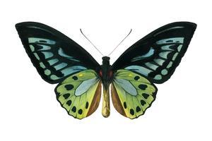Grön fågelskog (Ornithoptera priamus) illustrerad av Charles Dessalines D 'Orbigny (1806-1876). Digitalförstärkt från vår egen 1892-upplaga av Dictionnaire Universel D'histoire Naturelle.