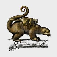 Pygmy anteater (Cyclopes didactylus) illustrerad av Charles Dessalines D 'Orbigny (1806-1876). Digitalförstärkt från vår egen 1892-upplaga av Dictionnaire Universel D'histoire Naturelle.