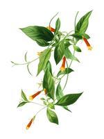 Candy Corn Vine (Manettia bicolor) illustrerad av Charles Dessalines D 'Orbigny (1806-1876). Digitalförstärkt från vår egen 1892-upplaga av Dictionnaire Universel D'histoire Naturelle.