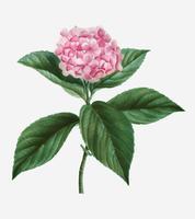 Hortensia francesa
