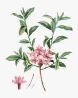 Azalea floreciente