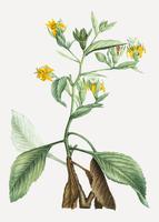 musschia aurea plant