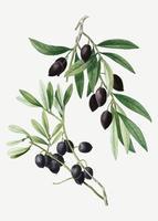 Olivenbaumzweig
