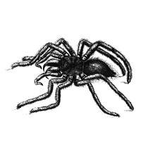 Ilustración de la araña avicularia