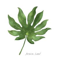 Aralia leaf isolated on white background