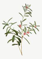 Bog Rosemary Bush vector