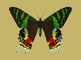 Madagaskas Sunset Moth (Urania Riphaeus) illustrerad av Charles Dessalines D 'Orbigny (1806-1876). Digitalförstärkt från vår egen 1892-upplaga av Dictionnaire Universel D'histoire Naturelle.