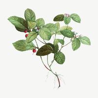 Amerikanische Wintergrünpflanze
