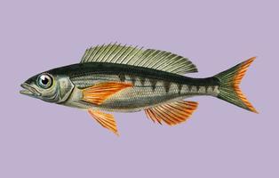 Pandoara fisk (Sparus Erthrinus) illustrerad av Charles Dessalines D 'Orbigny (1806-1876). Digitalförstärkt från vår egen 1892-upplaga av Dictionnaire Universel D'histoire Naturelle.