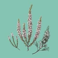Antique plant Epacris (2species) drawn by Sarah Featon (1848 - 1927). Digitally enhanced by rawpixel. vector