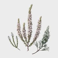 Antique plant Epacris (2species) drawn by Sarah Featon (1848 - 1927). Digitally enhanced by rawpixel.