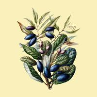 Antique plant Beilschmiedia Taiaire Tawa drawn by Sarah Featon (1848 - 1927). Digitally enhanced by rawpixel. vector