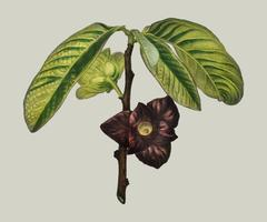 Asimina triloba illustrated by Charles Dessalines D' Orbigny (1806-1876). Digitally enhanced from our own 1892 edition of Dictionnaire Universel D'histoire Naturelle.