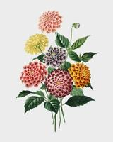 Dahlia illustrated by Charles Dessalines D' Orbigny (1806-1876).Digitally enhanced from our own 1892 edition of Dictionnaire Universel D'histoire Naturelle.