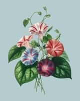 Morning-glory (Pharbitis hispida) illustrated by Charles Dessalines D' Orbigny (1806-1876), Digitally enhanced from our own 1892 edition of Dictionnaire Universel D'histoire Naturelle.
