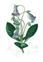 Brasilianska gloxinia eller Florists gloxinia (Gloxinia caulescente) illustrerad av Charles Dessalines D 'Orbigny (1806-1876). Digitalförstärkt från vår egen 1892-upplaga av Dictionnaire Universel D'histoire Naturelle.