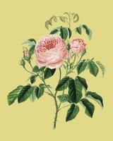 Cabbage Rose (Rosa Centifilia) illustrated by Charles Dessalines D' Orbigny (1806-1876). Digitally enhanced from our own 1892 edition of Dictionnaire Universel D'histoire Naturelle.
