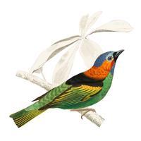 Tanagra cyanocephala illustrerad av Charles Dessalines D 'Orbigny (1806-1876). Digitalförstärkt från vår egen 1892-upplaga av Dictionnaire Universel D'histoire Naturelle.