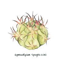 Handritad gymnocalycium spegazzinii kaktus