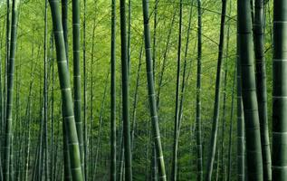 Papier peint texturé vert forêt de bambou