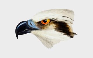 Ilustração de cabeça-branca Osprey