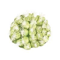 Mão desenhada mammillaria hernandezii pincushion cactus
