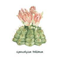 Mão desenhada cactus Baldianum Gymnocalycium