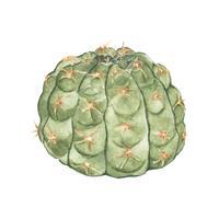 Hand getrokken gymnocalycium parvulum cactus