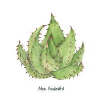 Pianta di Aloe aculeata disegnata a mano