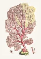 Vintage illustration of gorgonian fan coral