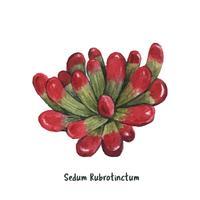 Hand drawn Sedum rubrotinctum succulent