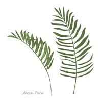 Areca palmblad isolerad på vit bakgrund