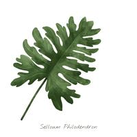 Selloum Philodendron leaf isolated on white background