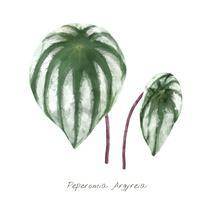 Peperomia Argyreia blad isolerad på vit bakgrund